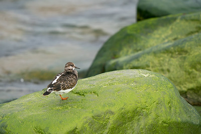 kamusznik | ruddy turnstone | arenaria interpres