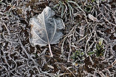 Opadły liść osiki (Populus tremula) na oszroniałej grobli ©Agata Katafiasz-Matysiak