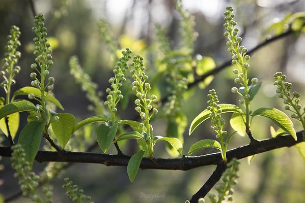 Czeremcha zwyczajna (Prunus padus) ©Agata Katafiasz-Matysiak