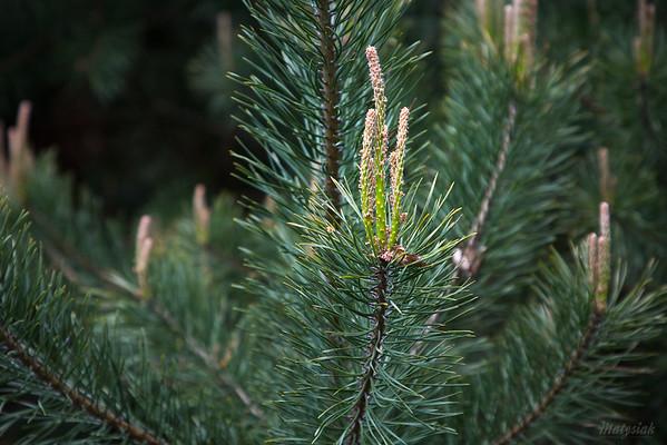 Sosna zwyczajna (Pinus sylvestris) ©Agata Katafiasz-Matysiak