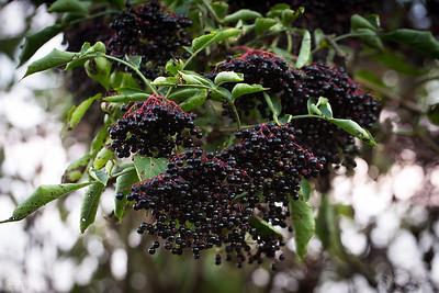 Dziki bez czarny (Sambucus nigra) ©Agata Katafiasz-Matysiak