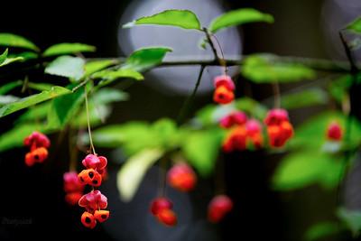 Owocująca trzmielina brodawkowata (Euonymus verrucosus) ©Mateusz Matysiak