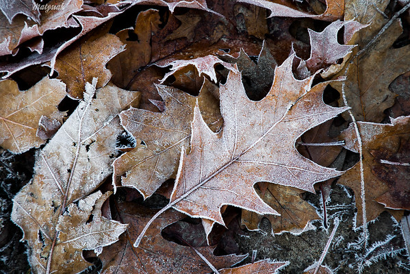 Opadłe liście dębu czerwonego (Quercus rubra) w szronie ©Agata Katafiasz-Matysiak