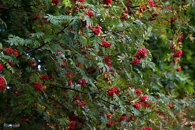 Jarząb pospolity (Sorbus aucuparia) Jarzębina owoc ©Agata Katafiasz-Matysiak