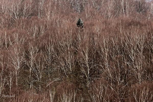 Samotnik w brzezinie