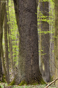"""""""Skulskie Dęby"""" - rezerwat przyrody ze skupiskiem starych dębów szypułkowych (Quercus robur) Nadleśnictwo Grójec Gm. Żabia Wola kwiecień 2020 ©Mateusz Matysiak"""