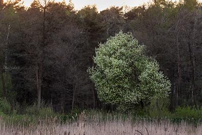 Pani Czeremcha na czarnego lasu skraju w białej sukni stała
