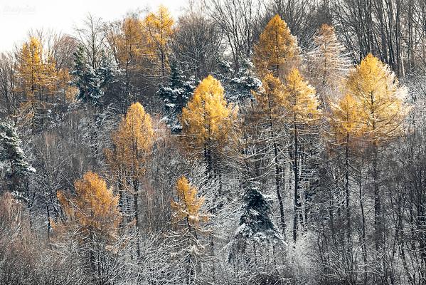 Grudniowe modrzewie Bieszczady ©Mateusz Matysiak