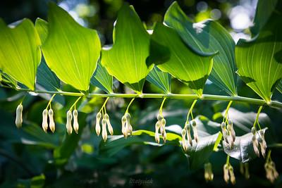 Kokoryczka wielokwiatowa (Polygonatum multiflorum) ©Agata Katafiasz-Matysiak