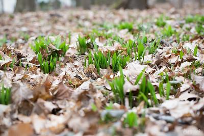 Czosnek niedźwiedzi (Allium ursinum) ©Agata Katafiasz-Matysiak