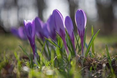 Szafran wiosenny  (Crocus vernus) ©Agata Katafiasz-Matysiak