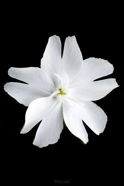 Lepnica biała (bniec biały) Silene latifolia ©Agata Katafiasz-Matysiak