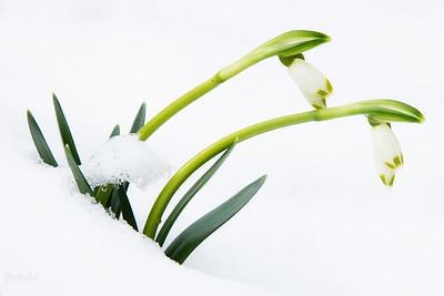 Śnieżyca wiosenna (Leucojum vernum) Bieszczady ©Mateusz Matysiak