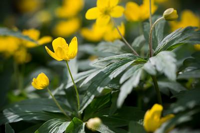 Zawilec żółty (Anemone ranunculoides) ©Agata Katafiasz-Matysiak