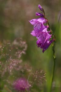 Mieczyk dachówkowaty (Gladiolus imbricatus) ©Mateusz Matysiak