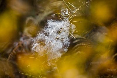 Jesienna kiprzyca