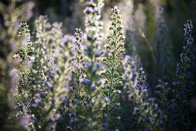 Żmijowiec zwyczajny (Echium vulgare) ©Agata Katafiasz-Matysiak