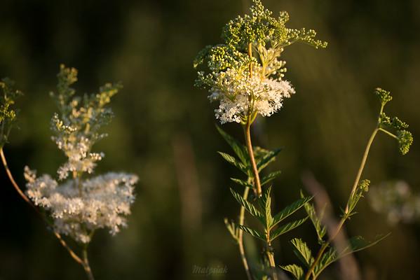 Wiązówka błotna (Filipendula ulmaria) ©Agata Katafiasz-Matysiak