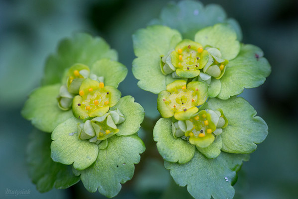 Śledziennica skrętolistna (Chrysosplenium alternifolium) ©Agata Katafiasz-Matysiak