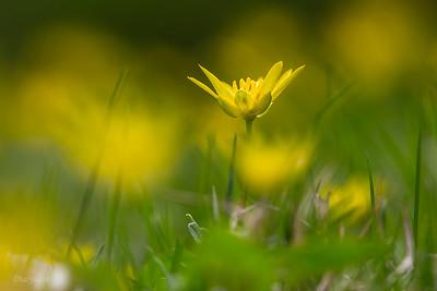 Jaskier wiosenny
