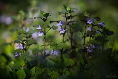 Bluszczyk kurdybanek (Glechoma hederacea) ©Agata Katafiasz-Matysiak
