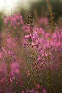 Różowa akwarela