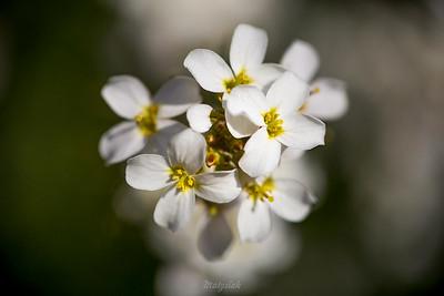 Rzeżucha (Cardamine) ©Agata Katafiasz-Matysiak