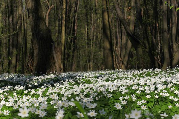 Łan kwitnących zawilców gajowych (Anemone nemorosa) Rez. Grądy Osuchowskie (gm. Mszczonów) ©Mateusz Matysiak