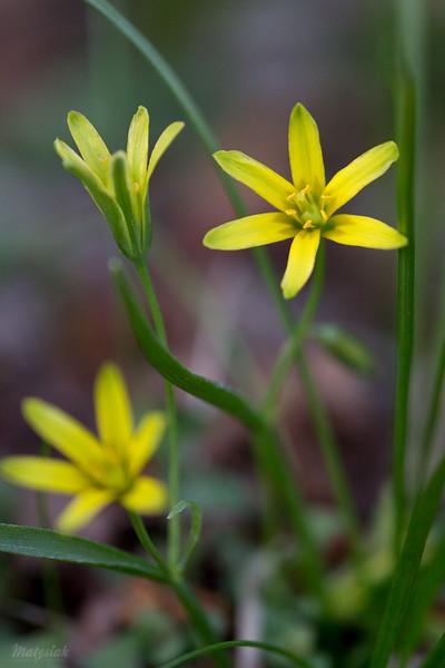 Złoć  żółta (Gagea lutea) ©Agata Katafiasz-Matysiak