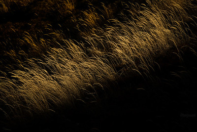 Trzcinnik leśny (Calamagrostis arundinacea) Krzemień, Bieszczady ©Mateusz Matysiak