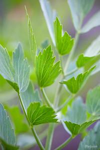 Lubczyk ogrodowy (Levisticum officinale) ©Agata Katafiasz-Matysiak