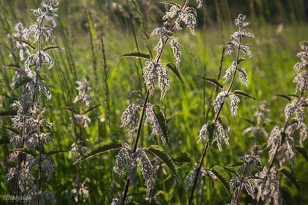 Pokrzywa zwyczajna  (Urtica dioica) ©Agata Katafiasz-Matysiak
