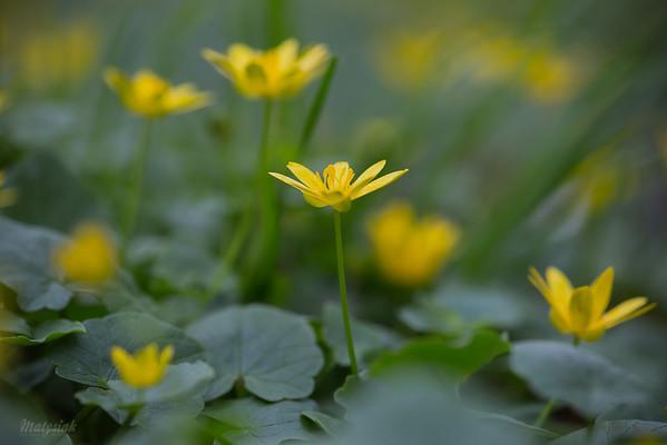 Ziarnopłon wiosenny (Ficaria  verna) ©Agata Katafiasz-Matysiak
