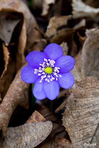 Przylaszczka pospolita (Hepatica nobilis) ©Agata Katafiasz-Matysiak