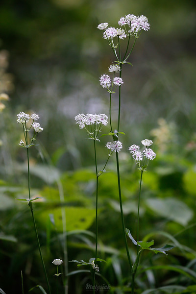 Kwitnąca jarzmianka większa (Astrantia major) ©Agata Katafiasz-Matysiak