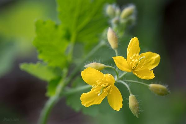 Kwitnący glistnik jaskółcze ziele (Chelidonium majus) ©Agata Katafiasz-Matysiak