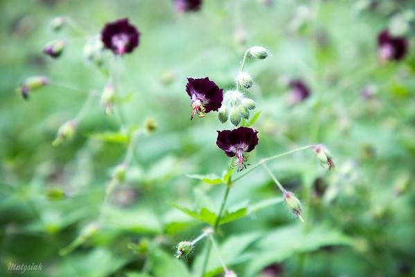 Bodziszek żałobny (Geranium phaeum) ©Agata Katafiasz-Matysiak