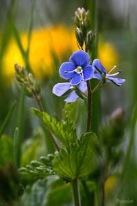 Przetacznik ożankowy (Veronica chamaedrys) ©Agata Katafiasz-Matysiak