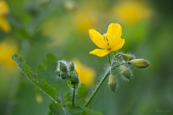 Glistnik jaskółcze ziele (Chelidonium majus) ©Agata Katafiasz-Matysiak
