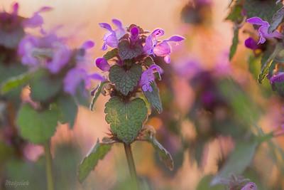 Jasność i purpura