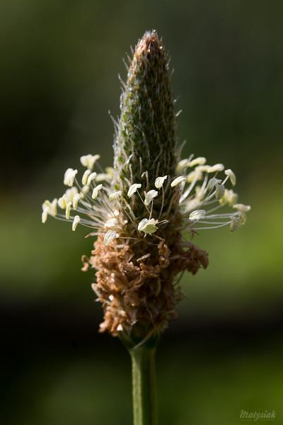 Babka lancetowata (Plantago lanceolata) ©Agata Katafiasz-Matysiak