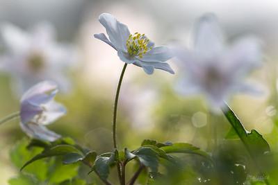 Zawilec gajowy (Anemone nemorosa) ©Agata Katafiasz-Matysiak