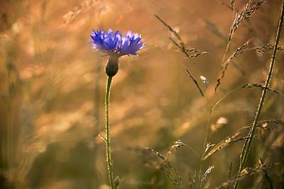 Chaber bławatek (Centaurea cyanus) ©Agata Katafiasz-Matysiak