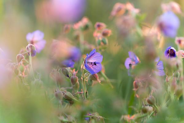 Bodziszek łąkowy (Geranium pratense) ©Agata Katafiasz-Matysiak