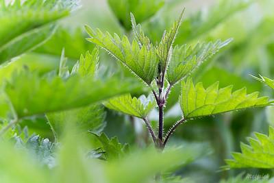 Pokrzywa zwyczajna - Urtica dioica ©Agata Katafiasz-Matysiak