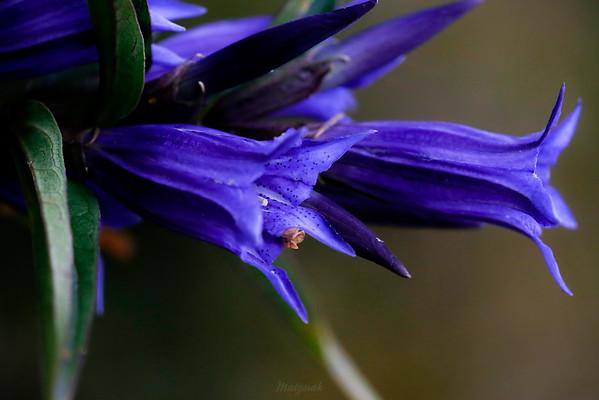Kwiaty goryczki trojeściowej (Gentiana asclepiadea) Bieszczady ©Mateusz Matysiak
