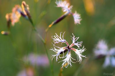 Goździk pyszny (Dianthus superbus) ©Agata Katafiasz-Matysiak