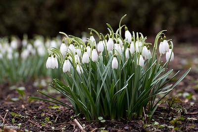 Śnieżyczka przebiśnieg (Galanthus nivalis) ©Agata Katafiasz-Matysiak