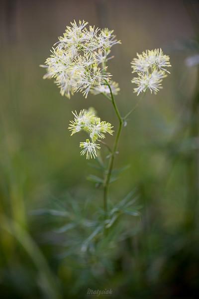 Rutewka wąskolistna (Thalictrum lucidum) ©Agata Katafiasz-Matysiak
