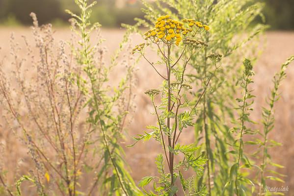 Wrotycz pospolity (Tanacetum vulgare) ©Agata Katafiasz-Matysiak